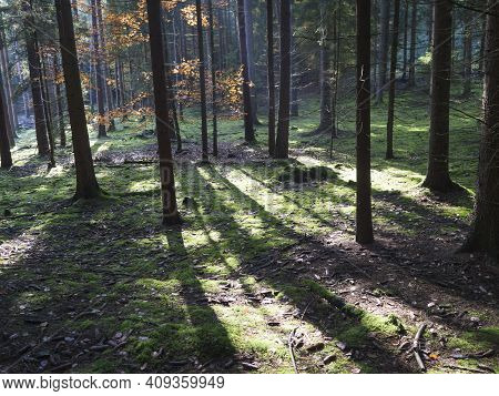 Magic Autumn Spruce And Beech Tree Forest Ground Covered Moss And Cines. Beatiful Light And Shadows