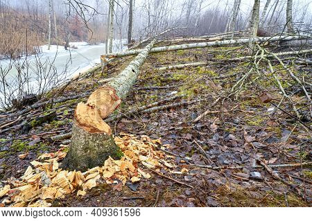 Woodland With Signs Of Beaver And Stream
