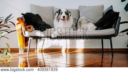 Cheerful Australian Shepherd With Multicolored Fur Sits On Sofa In Cosy And Modern Room In Daytime.