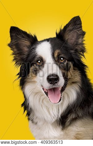 Portrait Of A Border Collie Sheepdog In Front Of A Yellow Gradient Background