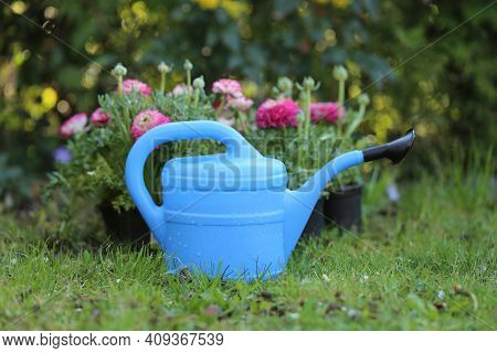 Floriculture Concept.ranunculus Flowers And Blue Watering Can. Growing Buttercups. Spring Flowers. S