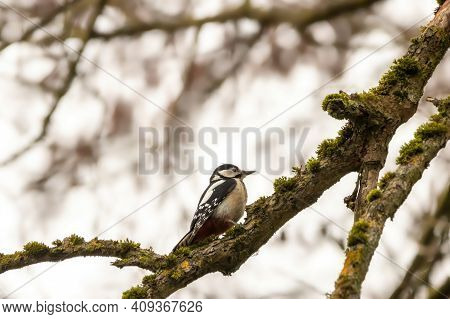 A Woodpecker In A Little Forest Next To The Mönchbruch Pond Sitting On A Branch Of A Tree At A Cold