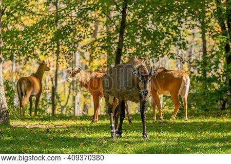 Antelope Nilgai (boselaphus Tragocamelus) Is Among Largest Asian Antelope. Nilgai Resides Throughout