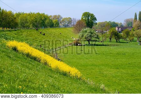 Spring Nature Landscape With Yellow Blossom Of Rapeseed Plants In Betuwe, Gelderland, Netherlands