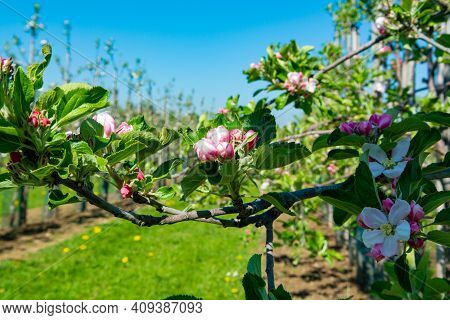 Pink Blossom Of Apple Fruit Trees In Springtime In Farm Orchards, Betuwe, Netherlands