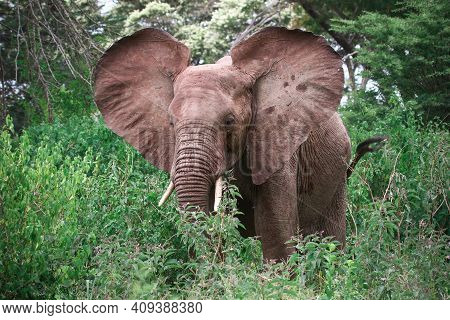 Elephant Flapping Ears In A High Green Bush
