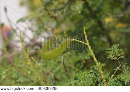 Bird Of Paradise Seed Pod - Latin Name - Caesalpinia Gilliesi (erythrostemon Gilliesii)