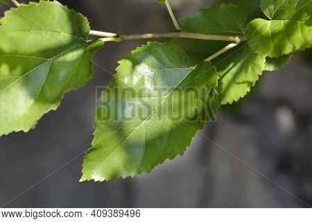 White Mulberry Leaves - Latin Name - Morus Alba