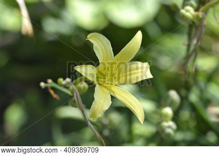 Small Daylily Flower - Latin Name - Hemerocallis Minor