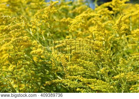 Canadian Goldenrod Yellow Flower - Latin Name - Solidago Canadensis