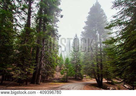 Foggy morning in the forest. Sequoia Park in California, USA. Cypress family. The natural range of the genus is the Pacific coast of North America. Travel to America.