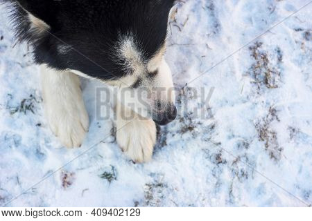 Siberian Husky Dog Lies On The On Snow Background. Siberian Husky Dog Black And White Colour.