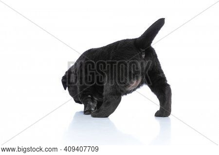 rear view of curious little labrador retriever puppy walking, exploring and sniffing on white background in studio