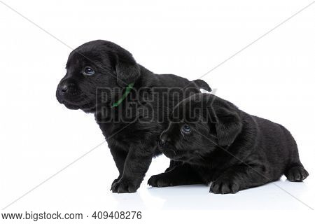 two adorable labrador retriever dogs looking to side, standing, laying down behind and posing isolated in a side view position on white background in studio