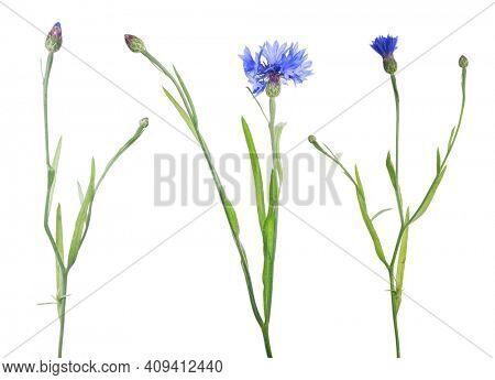 dark blue cornflowers isolated on white background