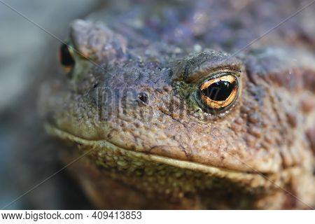 Fat Toad Face Close-up. Portrait Of A Brown Toad