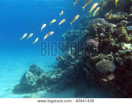 coral reef with shoal of goatfishes on the bottom of tropical sea - underwater photo poster