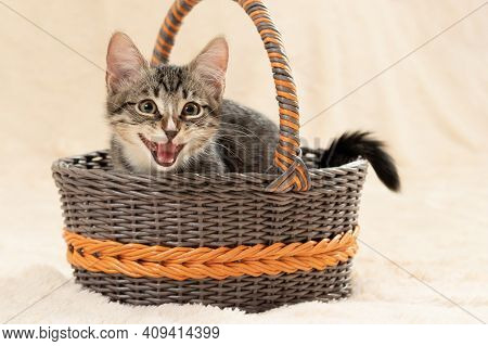 Cute Gray Kitten Meows While Sitting In A Wicker Basket On A Background Of A Cream Fur Plaid