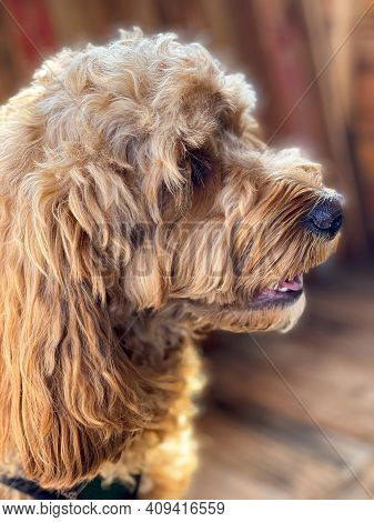 Cavapoo Dog Outside In The Garden, Mixed -breed Of Cavalier King Charles Spaniel And Poodle.