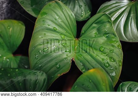 Taro.giant Taro,alocasia Indica Green Bushes, Biennial Plants, Water Weeds That Occur In Wet Tropica
