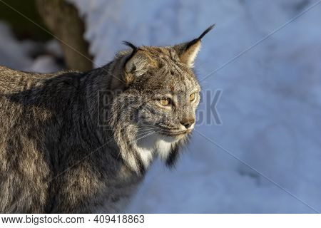 The Canada Lynx (lynx Canadensis). Predator Living In The Northern Territories Of The Usa And Canada