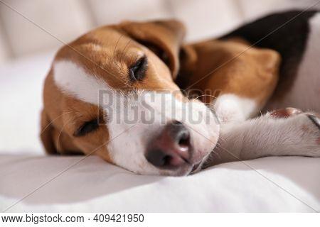 Cute Beagle Puppy Sleeping On Bed, Closeup. Adorable Pet