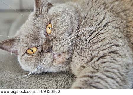 British Gray Cat Lies On The Couch, Close-up.