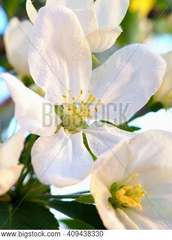 White Flowers Of An Apple Tree Close-up At Sunset. Petals, Pistils, Stamens. Blooming Fruit Tree In