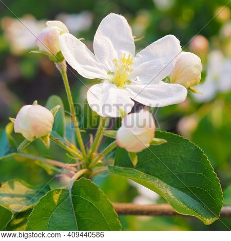 White Flower Of An Apple Tree Close-up. Petals, Pistils, Stamens, Buds And Leaves. Blooming Fruit Bu