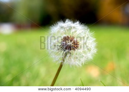 Simeon a parachute in the form of an anthodium of a dandelion on a background of a green grass poster