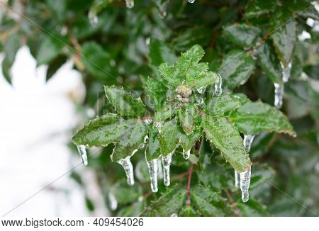 A Close-up Of An Evergreen Shrub European Holly, Ilex Covered With Ice After An Ice Storm, Freezing