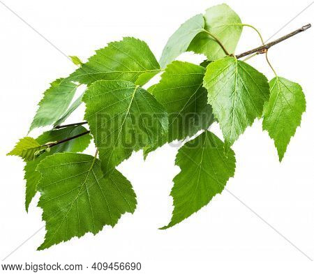 Green birch branch on white background. Symbol of birch tree which is widely used in manufacturing; medicine, cosmetology and food processing.
