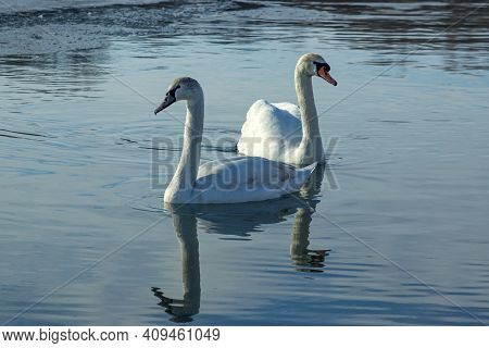 Swans Swim In The Lake. Beautiful White Swans. Birds On The Loose.