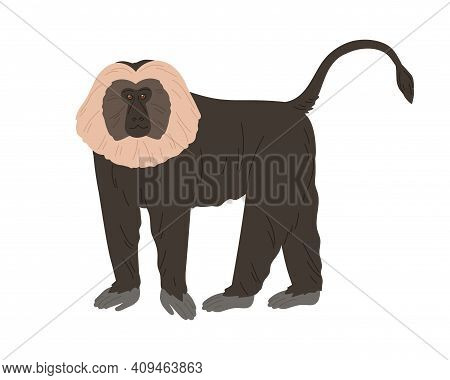 Lion-tailed Macaque Or Wanderoo. Indian Monkey With Silver-white Mane And Black Fluffy Coat. Exotic