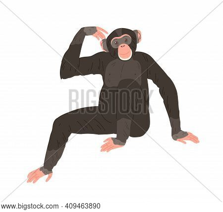 Chimpanzee Or Chimp Sitting And Scratching Its Head. African Ape With Black Hair And Bare Feet. Huma