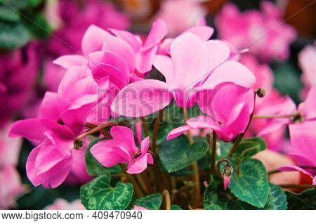 Cyclamen Is A Genus Of 23 Species Of Perennial Flowering Plants In The Family Primulaceae. Cyclamen