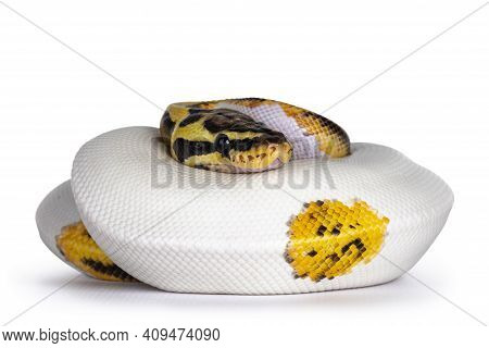 Young Piebald Ball Python Aka Python Regius Snake. Very High On White With Button Like Yelow With Bl