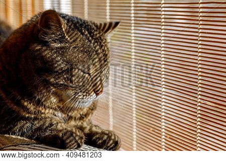 Funny Portrait Arrogant Short-haired Domestic Tabby Cat Relaxing Near Window Blinds At Home Indoors.