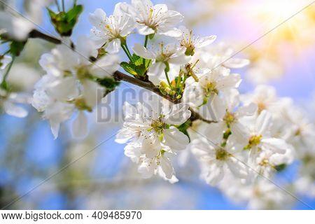 Beautiful Cherry Blossom Sakura Full Bloom Time Over Blue Sky Flowers Japanese Flowering Cherry On S