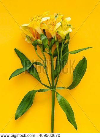 Top View On Fresh Yellow Alstroemeria Flower On Bright Yellow Background. Spring Flower In Bloom. Se