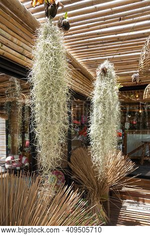 Spanish Moss Hanging From Coconut Husks For Decoration In Thai Bamboo Cafe