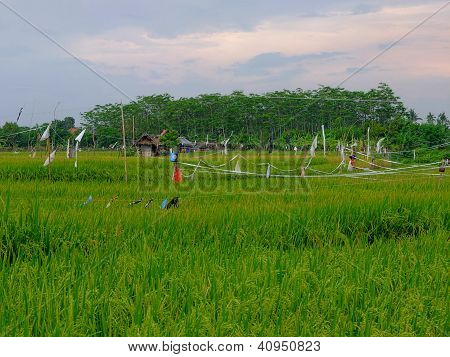 Rice Field And Trees