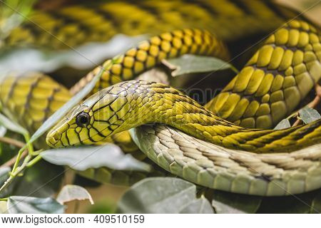 West African Green Mamba Close Up Portrait. Highly Venomous Snake Hallowell's Green Mamba (dendroasp