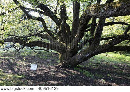 Verbania (vco), Italy - April 01, 2017: Davidia Involucrata Tree In \