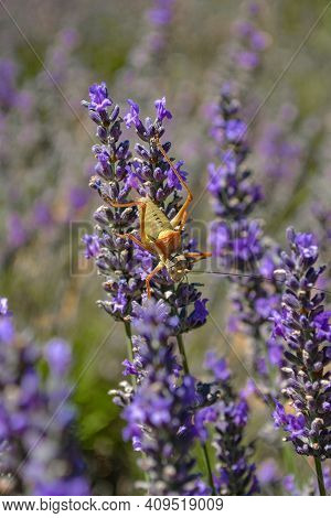 A Locust On A Lavender Flower. Provence. France