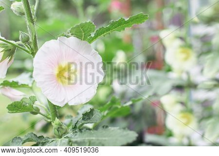 Beautiful Old Fashioned Soft Pink Hollyhock, Althaea Rosea (alcea Rosea), Flower Growing In A Cottag