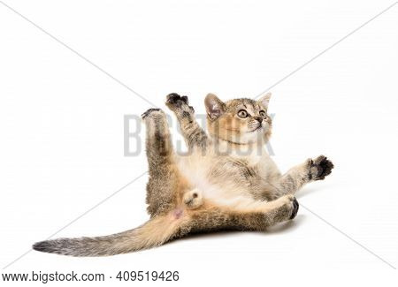 Little Kitten Scottish Chinchilla Lies On A White Background, Cute Animal Plays And The Cat Is Lying