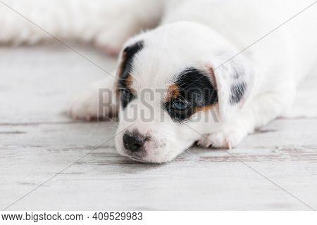 Newborn puppy lying on floor. Small dog sleep