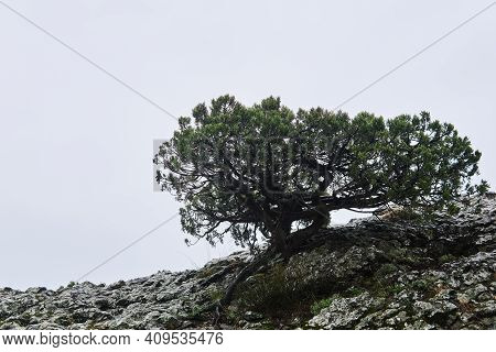 Beautifully Twisted Mediterranean Pine Tree On A Cliff Against A White Cloudy Sky