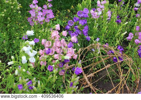 Variety Of Bell Shaped Flowers And Wicker Spherical Composition In Landscaping. Campanula Champion,